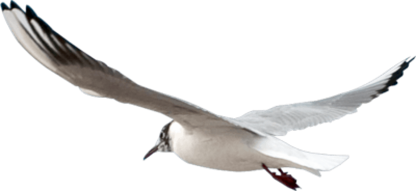 Gull-PNG-Pic